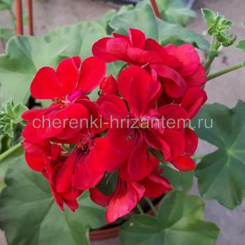 Пеларгония плющелистная Красная