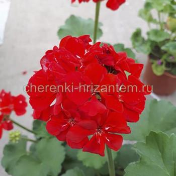 Пеларгония зональная Красная