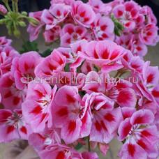 Пеларгония зональная Grandeur Classic Rose Splash