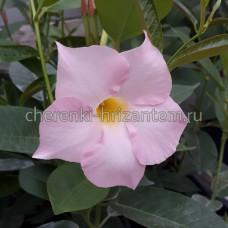 Дипладения (Мандевилла) розовая