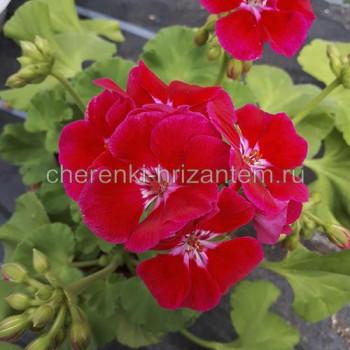 Пеларгония зональная Розово-малиновая с глазком