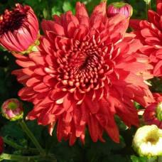 Хризантема корейская №226 Gompie Red (Гомпи Ред)
