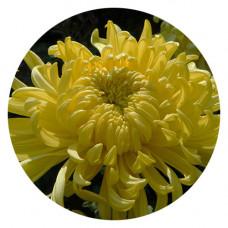 Хризантема корейская №227 Липнева