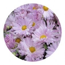 Хризантема корейская №233 Эдельвейс