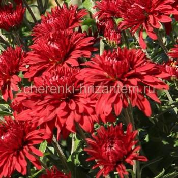 Хризантема корейская №206 Червона Калына