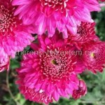 Хризантема корейская №209 Gompie Purple (Гомпи Пепл)