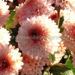 Хризантема корейская №213 Рассвет
