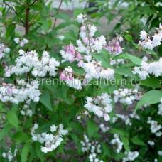 Дейция великолепная (Deutzia magnifica)