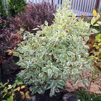 Дерен белый Элегантиссима (Cornus alba Elegantissima)
