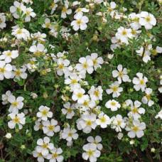 Лапчатка кустарниковая Abbotswood (Абботсвуд) белая