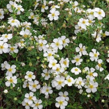 Лапчатка кустарниковая Абботсвуд (Abbotswood) белая