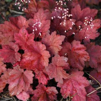 Гейхера Аутумн Ливз (Autumn Leaves)