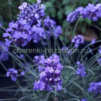 Лаванда узколистная Хидкот Блу (Hidcote Blue)