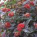Пузыреплодник калинолистный Ред Барон (Red Baron)