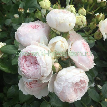 Роза флорибунда Герцогиня Кристиана (Herzogin Christiana)