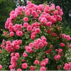 Роза плетистая Розариум Ютерсен (Rosarium Uetersen)