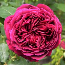 Роза английская Фальстаф (Falstaff)