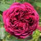 Роза (осень)