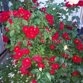 Роза плетистая Фламентанц (Flammentanz)