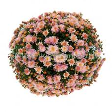 Хризантема Мультифлора №32 Brandomino Pink (Брандомино Пинк)