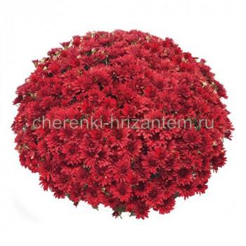 Хризантема Мультифлора №59 Magdalena Red (Магдалена Ред)
