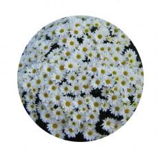 Хризантема Мультифлора №56 Fancy White (Фэнси вайт)