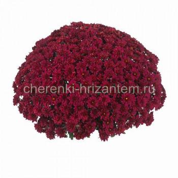 Хризантема Мультифлора №61 Sunbeam Red (Санбим Ред)