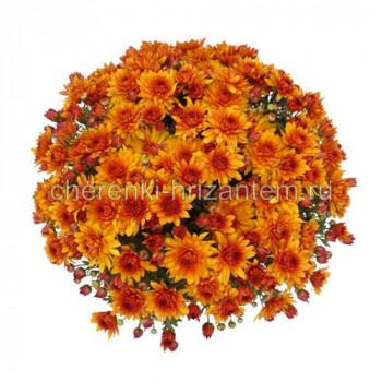 Хризантема Мультифлора №65 Mika Orange (Мика Оранж)