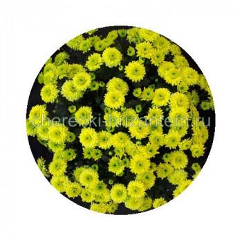 Хризантема Мультифлора №69 Branarktis Lemon (Бранарктис Лемон)
