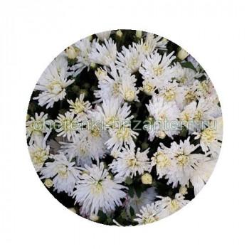 Хризантема Мультифлора №77 Tricky White (Трики Вайт)