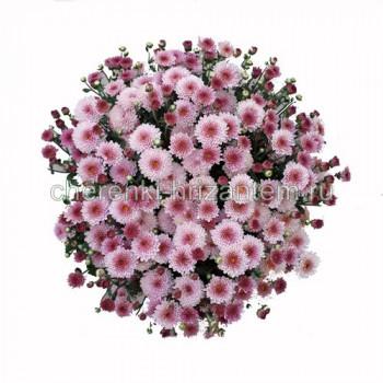 Хризантема Мультифлора №56 Dustin Pink (Дастин Пинк)