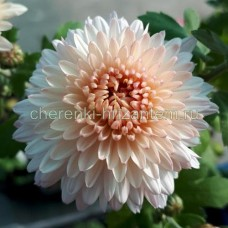 Хризантема корейская №205 Мадам Шер
