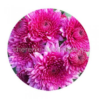 Хризантема мультифлора  №68 Miora Pink (Миора Пинк)