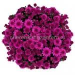 Хризантема Мультифлора №62 Branhill Purple (Бранхилл Пепл, Хилл Пепл)