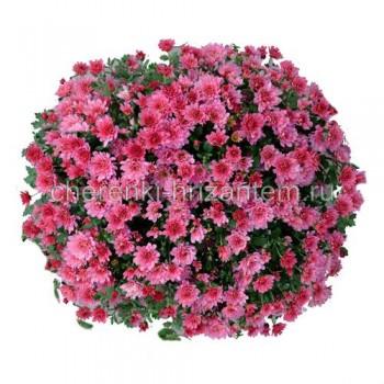 Хризантема Мультифлора №52 Bransaund Cherry (Брансаунд Черри)