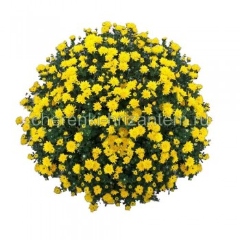 Хризантема Мультифлора №51 Ursula Yellow (Урсула Еллоу)