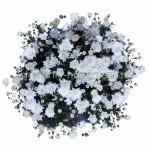 Хризантема Мультифлора №41 Branbeache White (Бранбич Вайт, Бич Вайт)