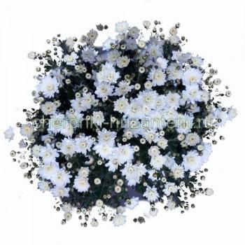 Хризантема Мультифлора №41 Branbeache White (Бранбич Вайт)