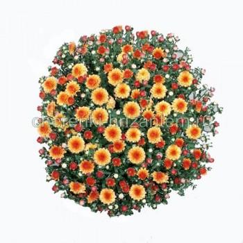 Хризантема Мультифлора №43 Molfetta Orange (Молфетта Оранж)