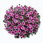 Хризантема Мультифлора №42 Molfetta Pink (Молфетта Пинк)