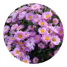 Хризантема Мультифлора №88 Розовая ромашка
