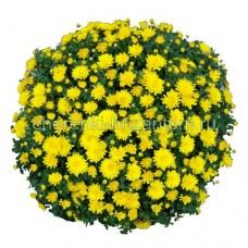 Хризантема Мультифлора №10 Patio mam Yellow (Патио мэм Еллоу)