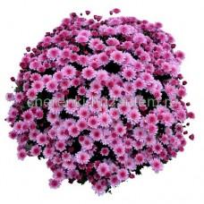 Хризантема Мультифлора №12 Bransaund Pink (Брандсаунд Пинк)