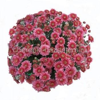 Хризантема Мультифлора №24 Brangala (Брангала)