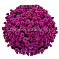 Хризантема Мультифлора №30 Bransound Purple (Брансаунд Пепл)