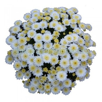 Хризантема Мультифлора №38 Chelsey White (Челси Вайт)