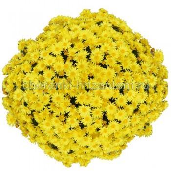 Хризантема Мультифлора №4 Popcorn (Попкорн)