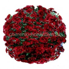 Хризантема корейская №201 Lipstick (Липстик)