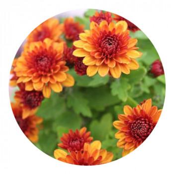 Хризантема Мультифлора №13 Brangnom Orange (Брангном Оранж)