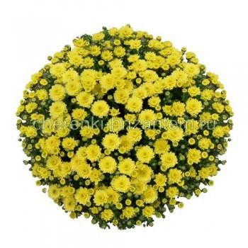 Хризантема Мультифлора №26 Elfie Yellow (Элфи Еллоу)